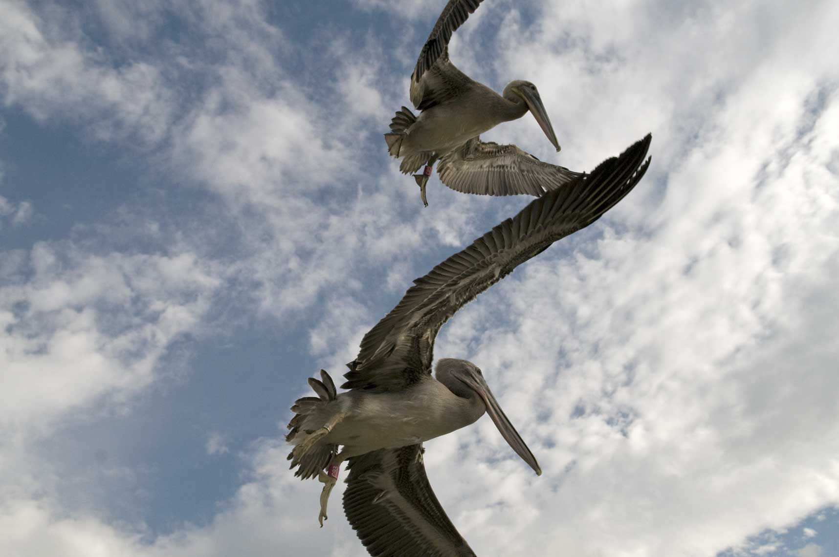 brown-pelicans-flying-after-release-from-rehab