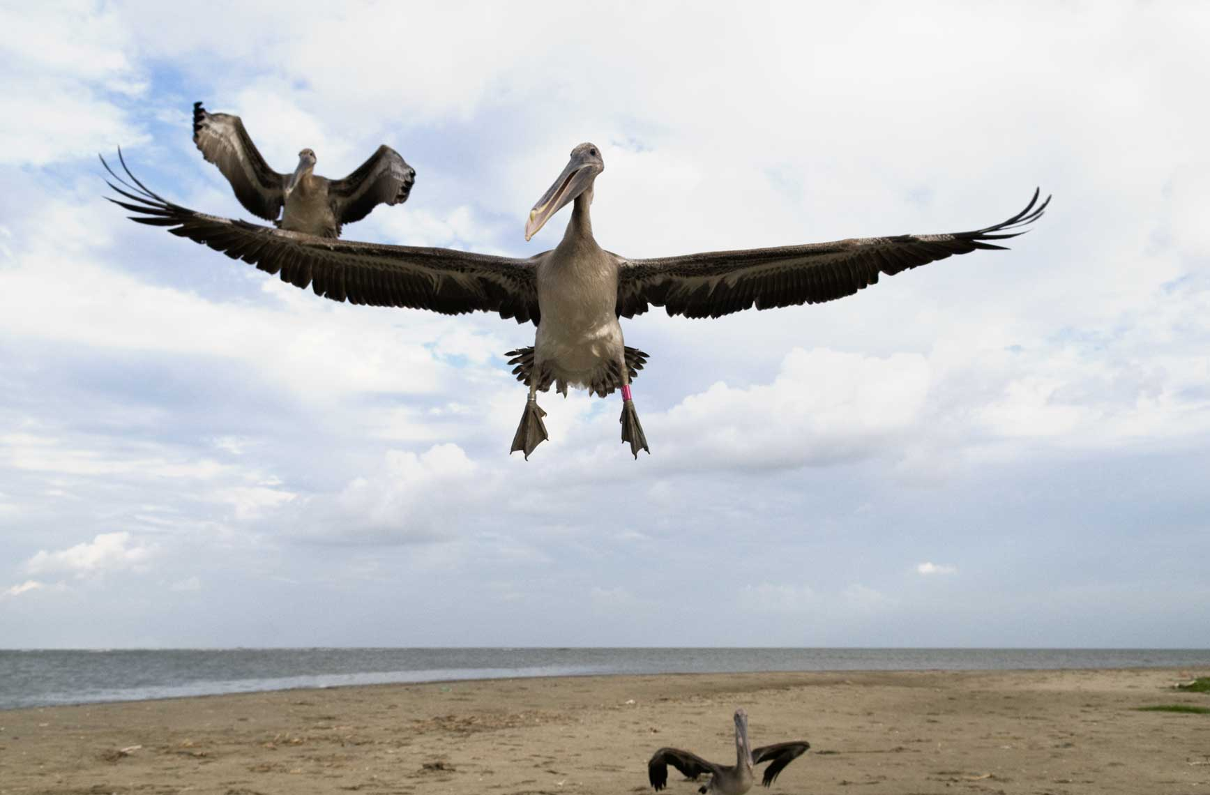 brown-pelicans-in-flight-after-release-from-the-oil-spill