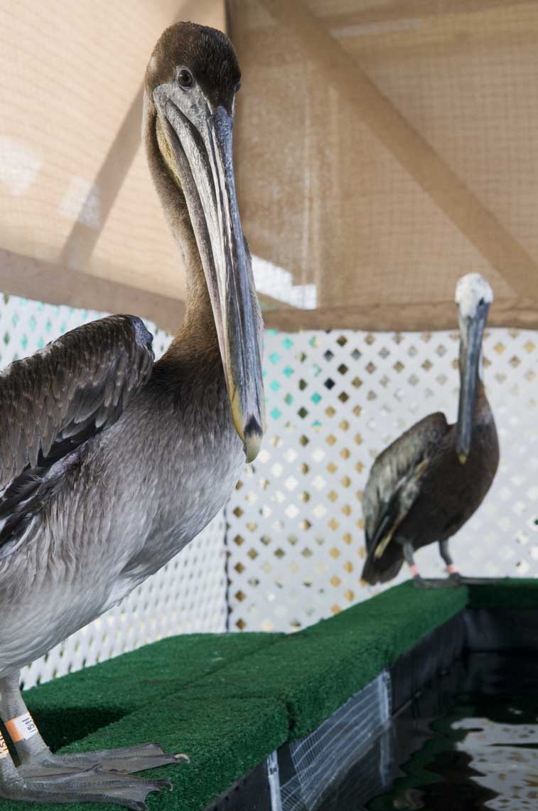 brown-pelicans-rehabilitating