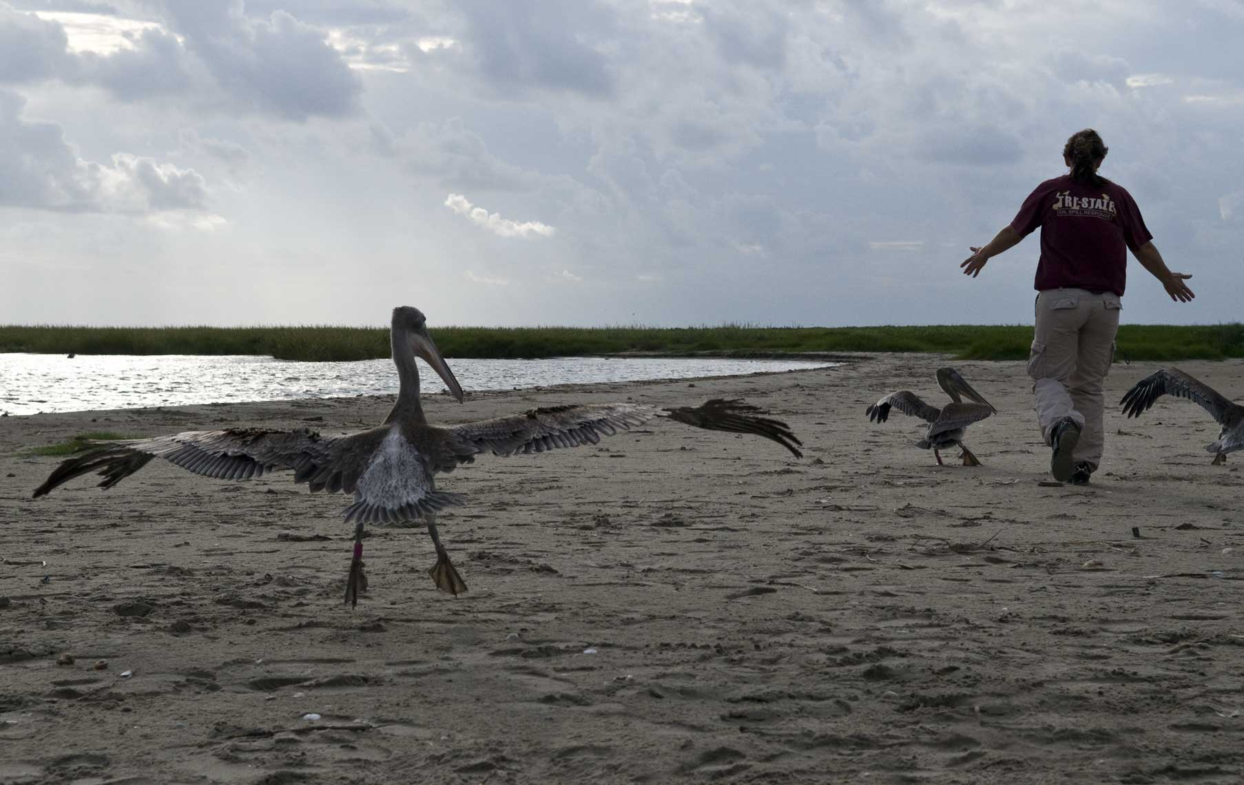 chasing-brown-pelicans-to-fly-away-during-their-release