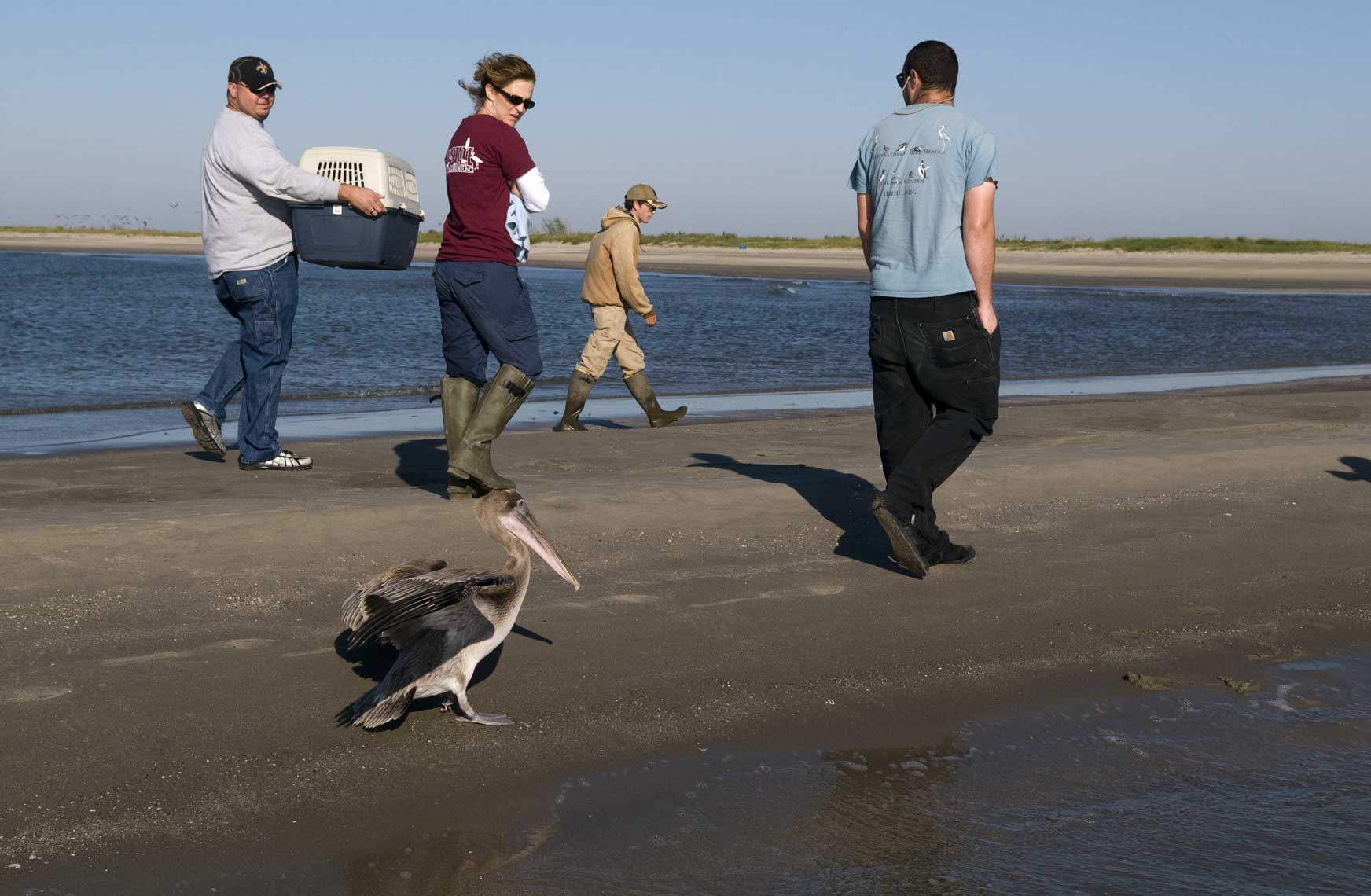 domesticated-brown-pelican-following-humans