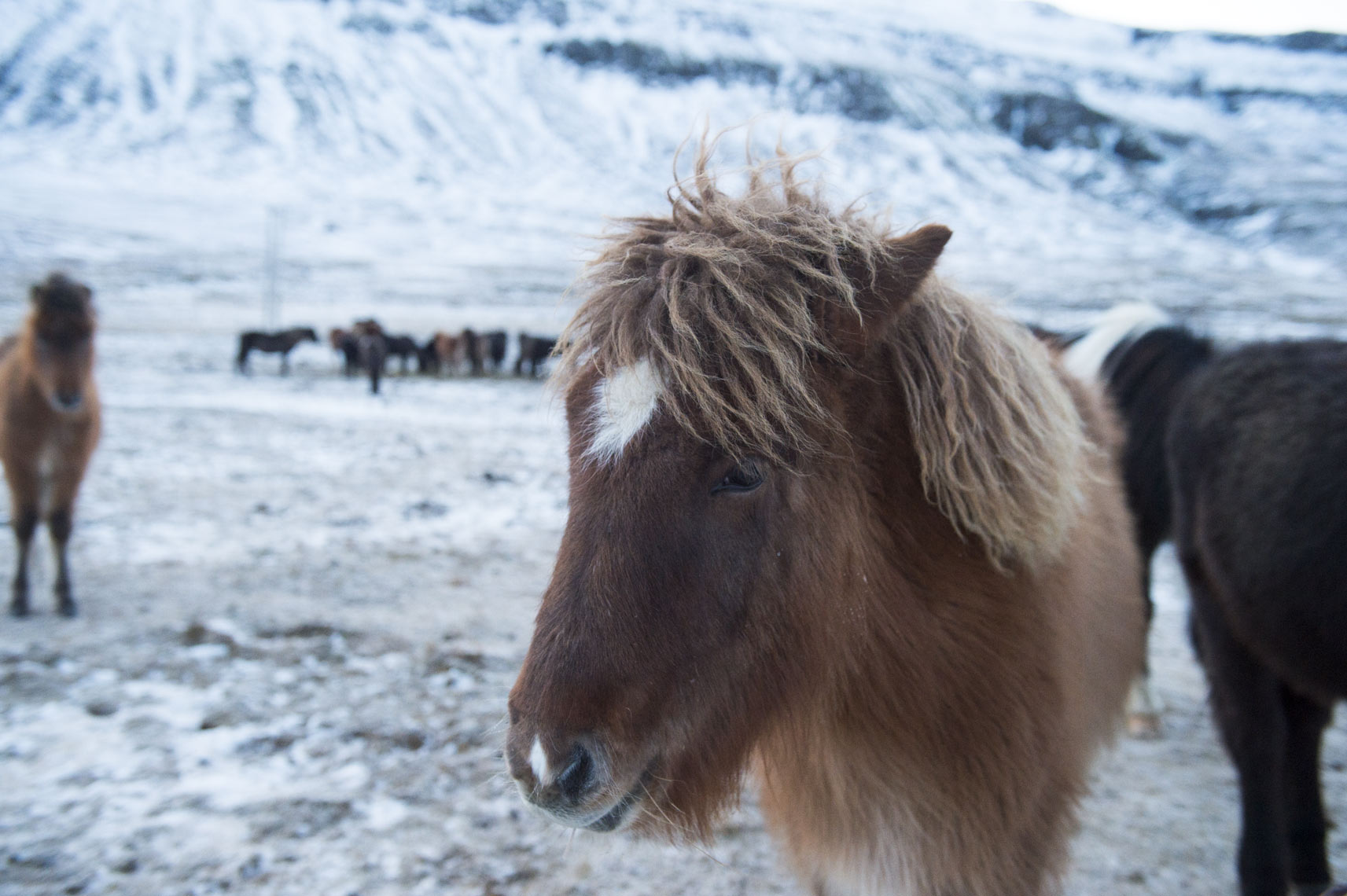 icelandic-horse-in-the-Snfellsnes