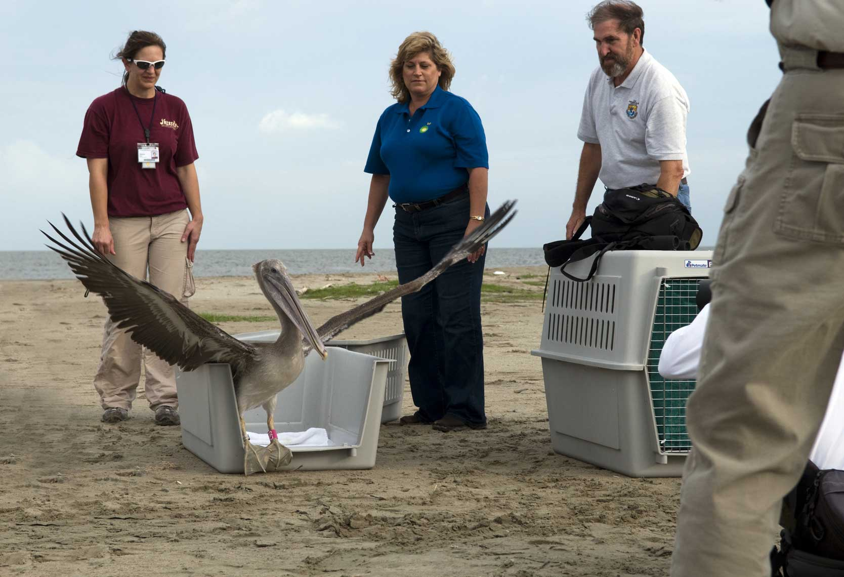 previously-oiled-brown-pelican-released