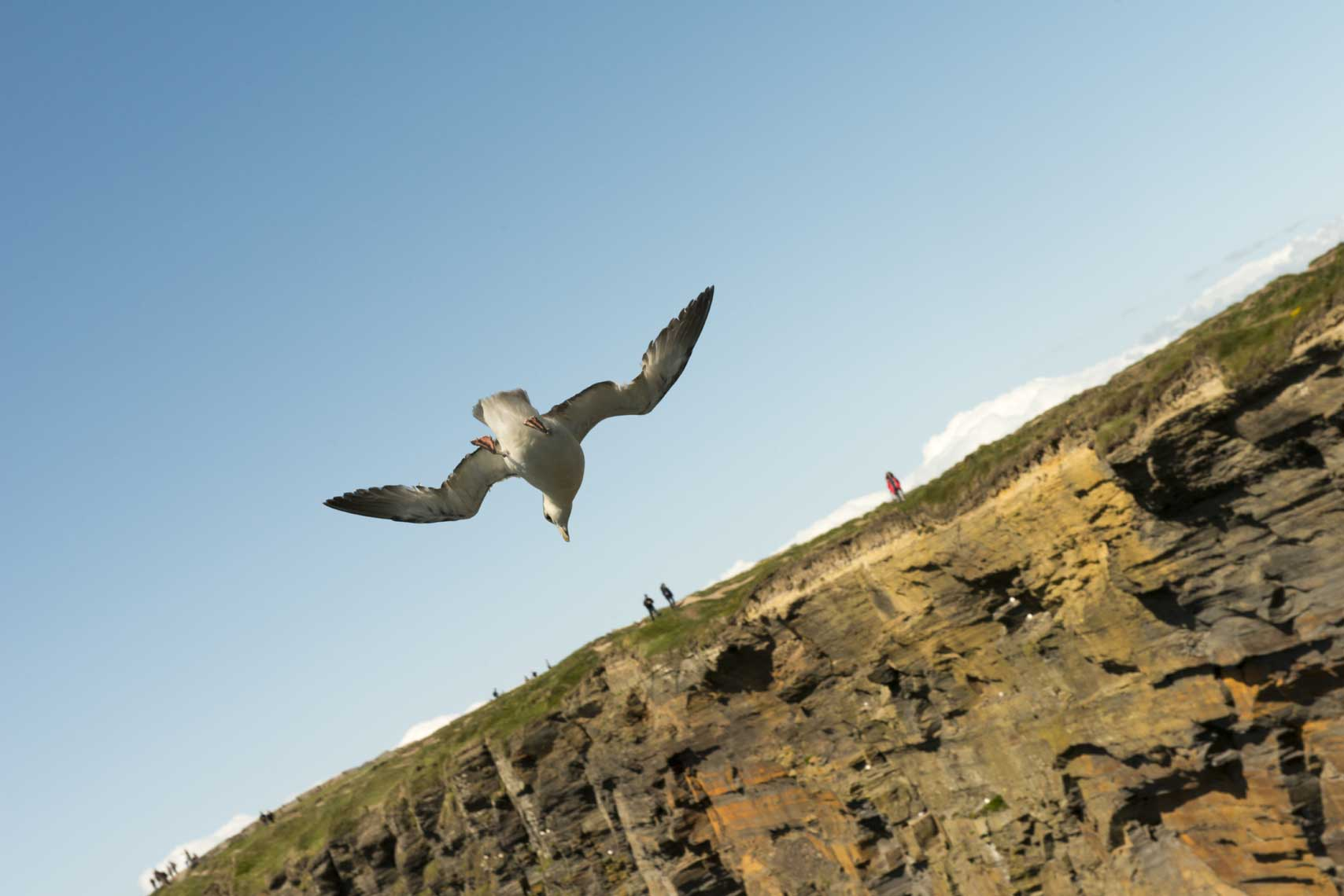 seagull-of-the-Cliffs-of-Moher