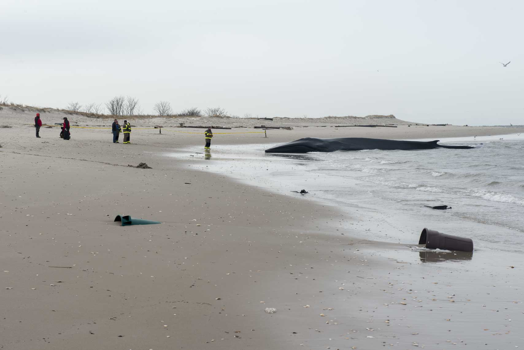whale-beached-on-Breezy-point-beach